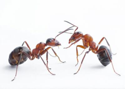 Ant Exterminator Las Vegas NV