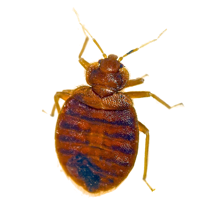 Bed Bug Pest Removal Las Vegas Nv