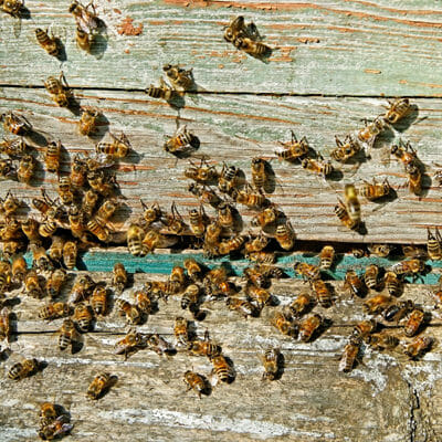 Bee Removal Infestation In Home Walls Las Vegas NV