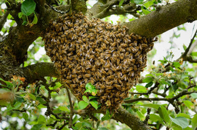 Bee Swarm Removal Las Vegas Valley