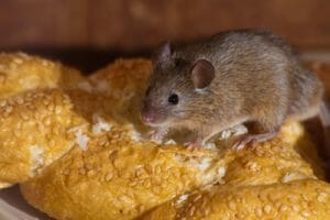 Mouse In Home Eating Food Las Vegas NV