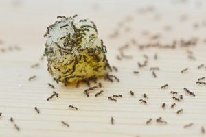 Pest Control Las Vegas Ants Eating Food