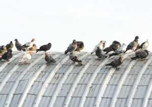 Pest Control Pigeon Removal Las Vegas NV