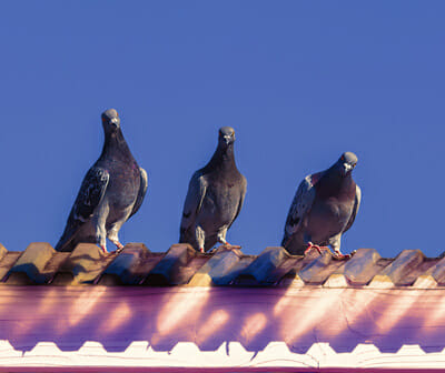 Pest Control Pigeon Removal Vegas Valley