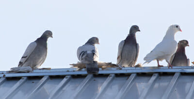 Pigeon Control Resident Las Vegas Home