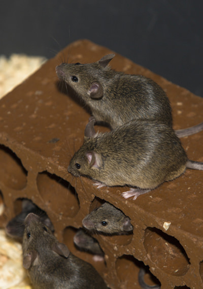Rat Pest Control Las Vegas