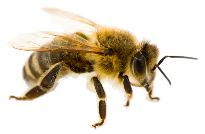 single-honey-bee-removal-las-vegas-nv
