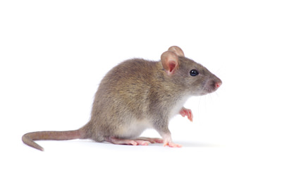 Single Mouse Pest Control Las Vegas NV