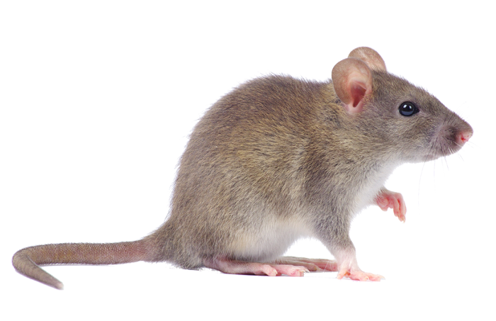 single-mouse-pest-control-las-vegas-nv