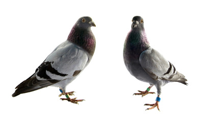 Single Pigeon Control Las Vegas NV