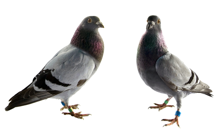 single-pigeon-control-las-vegas-nv