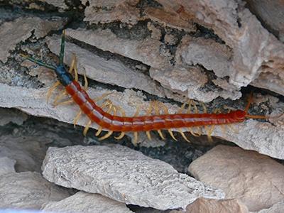 Centipede Pest Control Las Vegas NV