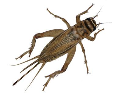 Cricket Exterminator Las Vegas NV