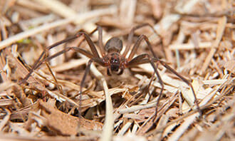 Spider Exterminator Brown Recluse Las Vegas NV