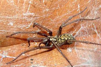Spider Exterminator Hobof Spider Las Vegas NV